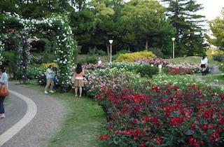 靭公園の満開のバラ